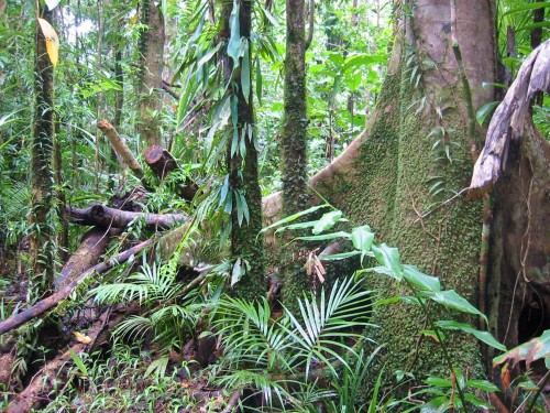 Rain_Forest_Daintree